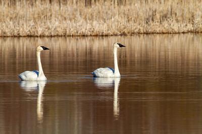Trumpeter Swan pair Tobin-Kimmes Wetlands Gordon MacQuarrie Wetlands-5810