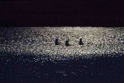 Trumpeter Swan trio moonlight keyhole silhouette Crex Meadows Grantsburg WI IMG_2364
