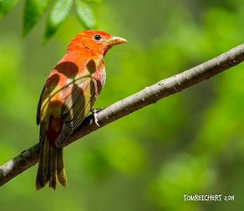SUMMER TANAGER - FOREST PARK