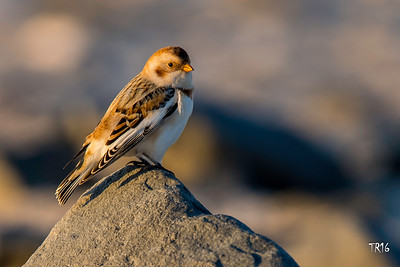Snow Bunting - Jones Beach