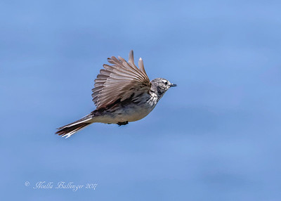 AMERICAN PIPIT IN FLIGHT