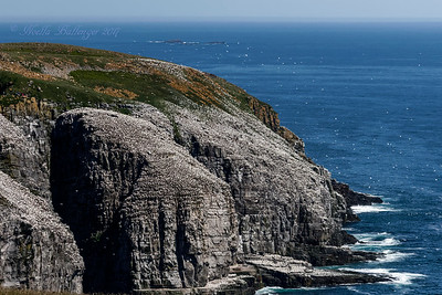 CAPE ST. MARY'S ECOLOGICAL RESERVE - HOSTING A HUGE GANNET POPULATION