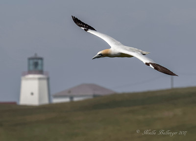 NORTHERN GANNET WITH LIGHTHOUSE AT CAPE ST. MARY
