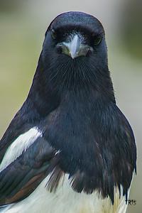 BLACK BILLED MAGPIE - ALASKA