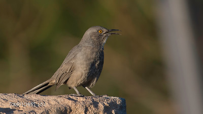 CURVED BILLED THRASHER - ARIZONA