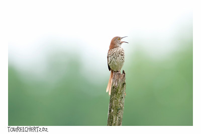 BROWN THRASHER - WALTON