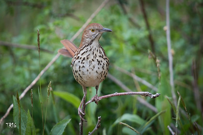 BROWN THRASHER - MEADOWLARK PARK