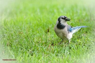 BLUE JAY EATING A SPIDER
