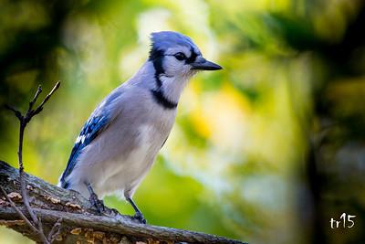 BLUE JAY - MEADOWLARK PARK