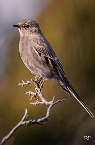TOWNSEND'S SOLITAIRE - SOUTHOLD N.Y.