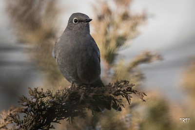 TOWNSENDS SOLITAIRE - SOUTHOLD N.Y.