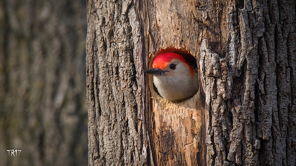 RED BELLIED WOODPECKER - SUNKEN MEADOW