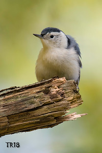 WHITE BREASTED NUTHATCH - MEADOWLARK