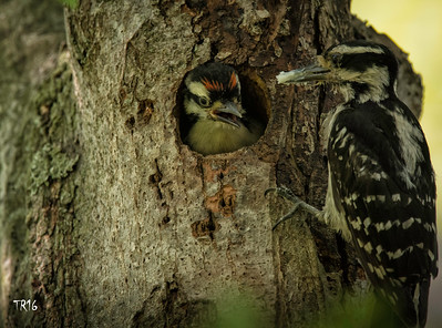 Hairy Woodpeckers - Southards Pond