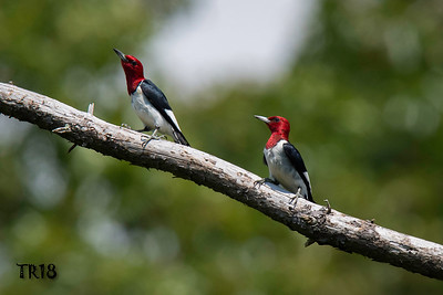 RED HEADED WOODPECKERS - CONNETQUOT