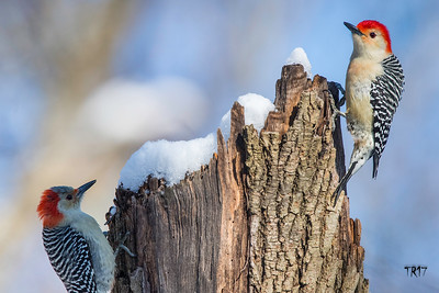 RED BELLIED WOODPECKERS - SUNKEN MEADOW