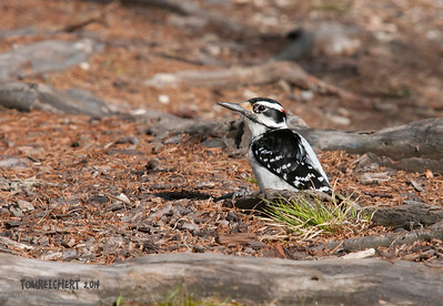 Hairy Woodpecker - Fuchs Pond