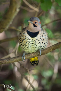 NORTHERN FLICKER - N.F.P.