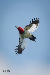 RED HEADED WOODPECKER - CONNETQUOT