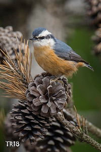 RED BREASTED NUTHATCH - ROBERT MOSES