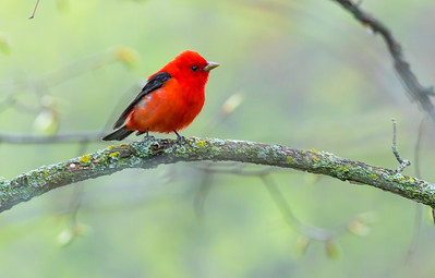Scarlet Tanager St  Louis River landing Arkola Road-CR52 staff trip Friends of Sax-Zim Bog MN -07892