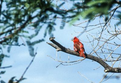 Summer Tanager? Madera Canyon? August 1994 SE Arizona SLIDE SCAN BIRDS-22