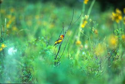 Western Tanager Jackson Hole? WY SLIDE SCAN BIRDS-64