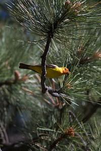 Western Tanager Bayfield Colorado IMG_3301