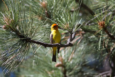 Western Tanager Bayfield Colorado IMG_3304