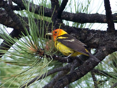 Western Tanager Estes Park CO IMG_2905