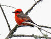 Vermillion flycatcher male, Anahuac NWR, TX