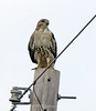 Red-tailed hawk, Anahuac NWR, TX