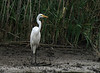 Great Egret, Anahuac NWR, TX
