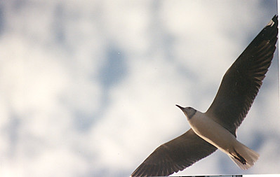 Gray-headed Seagull