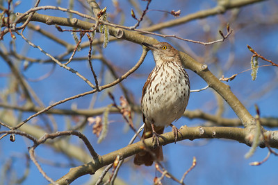 Brown Thrasher Park Point Minnesota Point Duluth MN -0229