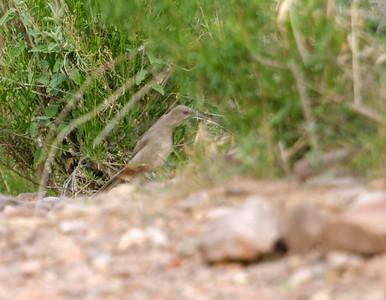 Crissal Thrasher Big Bend National Park TX 151_5184