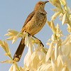 Curve-billed Thrasher on blooming Spanish Dagger Yucca [April; Big Bend National Park, Texas]