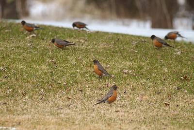 American Robin migrating near Cook MN IMG_7403