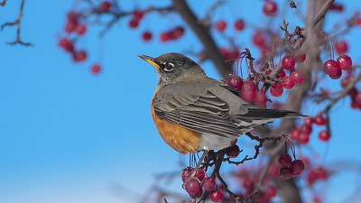 American Robin crabapple tree eating fruit berries near the depot Two Harbors MN -1000354