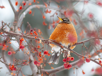 American Robin in crabapple tree CR1 Wrenshall MN-0826