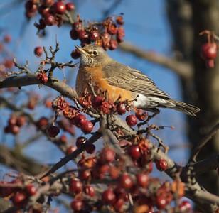American Robin crabapples Lakeside Duluth MN IMG_0074228