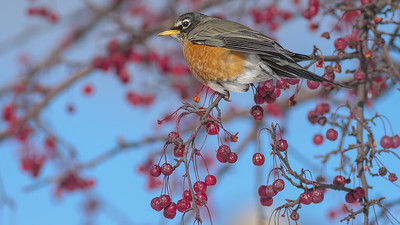 American Robin crabapple tree eating fruit berries near the depot Two Harbors MN -1000366