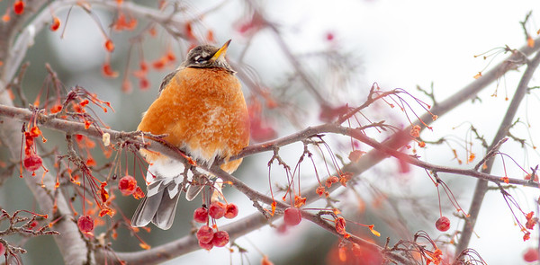 American Robin in crabapple tree CR1 Wrenshall MN-0825