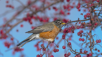 American Robin crabapple tree eating fruit berries near the depot Two Harbors MN -1000362