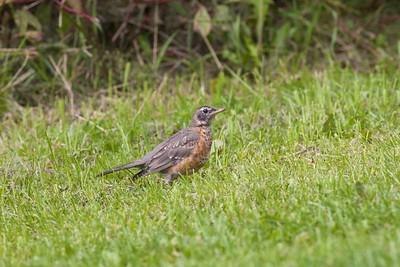 American Robin juvenile MN IMG_0667