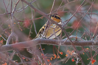 Varied Thrush at the 4600 block of Oakley in Lakeside.