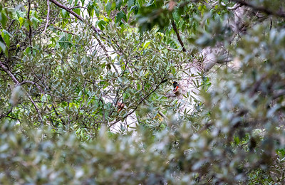Elegant Trogon nest Cave Creek South Fork Canyon Chiricahua Mountains near Portal southeast Arizona June 6-12 2019-00649