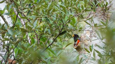 Elegant Trogon nest Cave Creek South Fork Canyon Chiricahua Mountains near Portal southeast Arizona June 6-12 2019-2