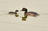 Eared grebe and chick, Tule Lake NWR OR (14)