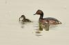 Eared grebe and chick, Tule Lake NWR OR (13)